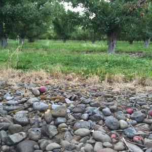 KT Vineyard