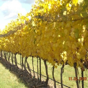 Yellow Jacket Vineyard